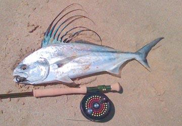 San felipe panga motherships begin midriff islands fishing for Rooster fish cabo